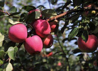 Jak przycinać drzewa owocowe